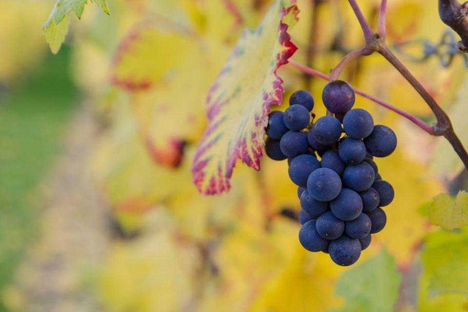 Atelier de la vigne au vin : découverte de la vigne au vin